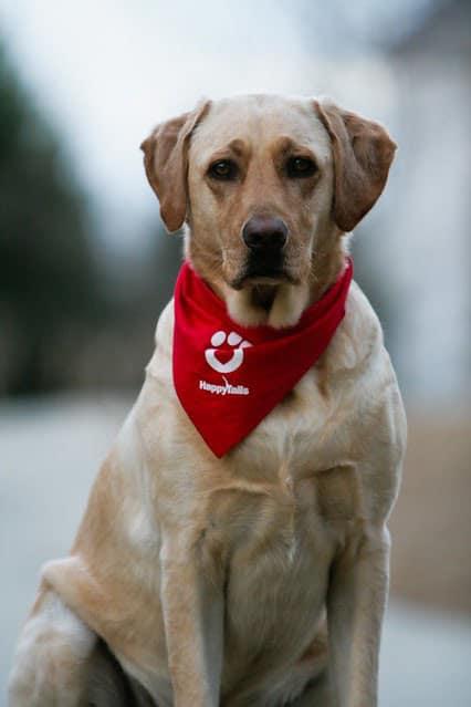 A white Labrador Retriever therapy dog wearing a