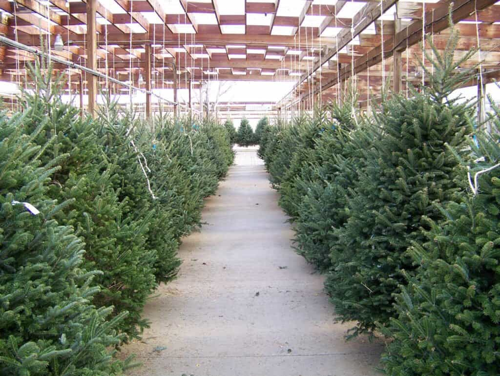 Rows of Christmas trees in a lot, awaiting to be picked up and taken home by many families.