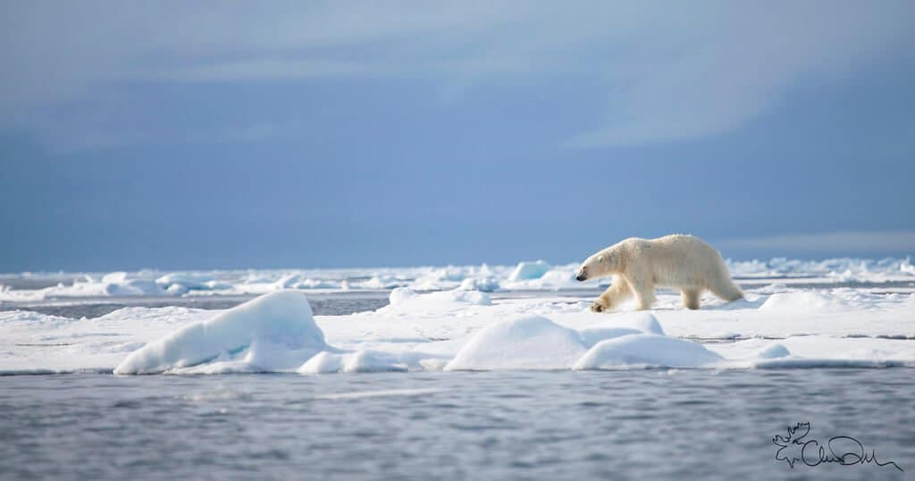 A polar bear walking.