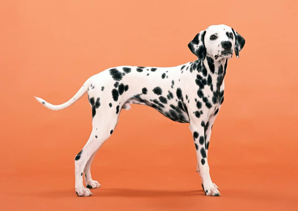 A black and white dalmatian dog in an orange background