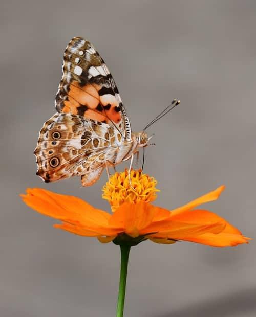 A butterfly on an orange flower